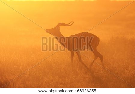 Impala - African Wildlife Background - Golden Dust and Sunset Colors