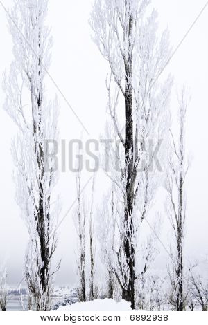 Tall Thin Snow Covered Trees