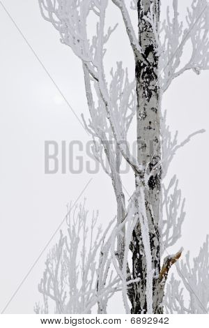 Snow Covered Tree And Sun