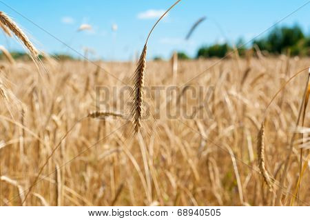 field with wheat ear close up