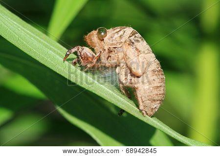 Cicada Husk