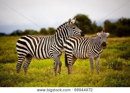 Playful zebra couple
