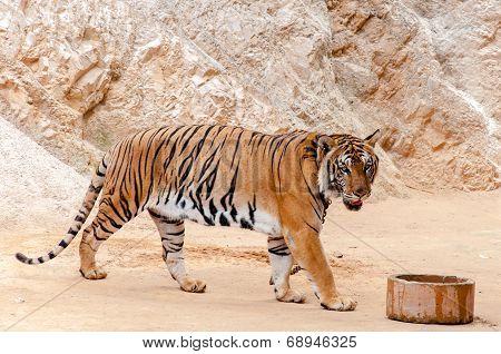 Beautiful Specimen Of Bengal Tiger At The Tiger Temple In Kanchanaburi, Thailand
