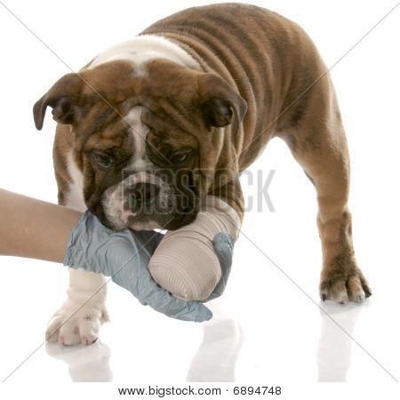 Cachorro de Bulldog con la pata herida