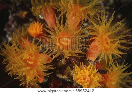Polyps of cup coral feeding at night