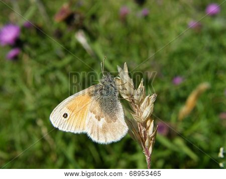 Small Heath Butterfly