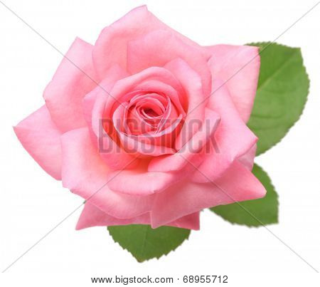 pink rose with leaves isolated on white background