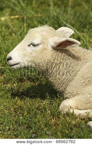 Lamb resting in a field