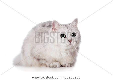 Mixed-breed cat on white
