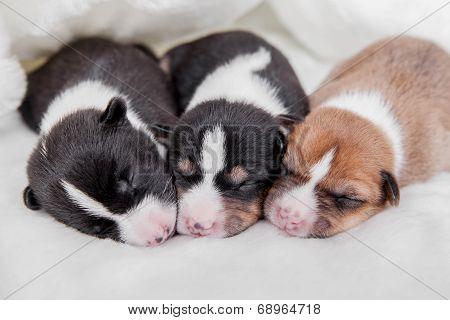 Newborn basenji puppies