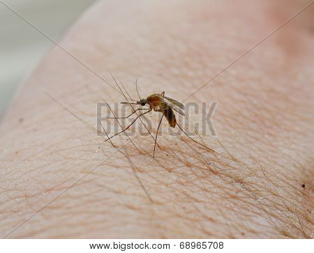 Mosquito Stand And Prepare Suck Blood From Human Skin