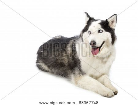 Alaskan Malamute Husky Dog Isolated on White