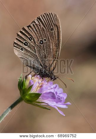Ringlet On A Blue Flower