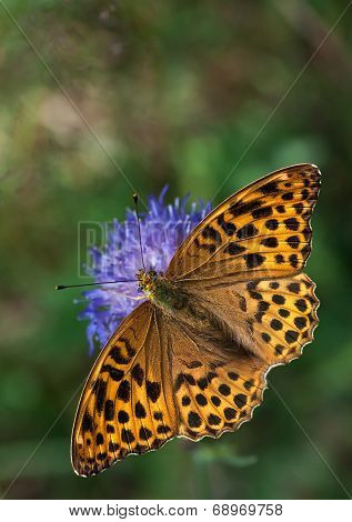 Silver-washed Fritillary on a Knautia flower