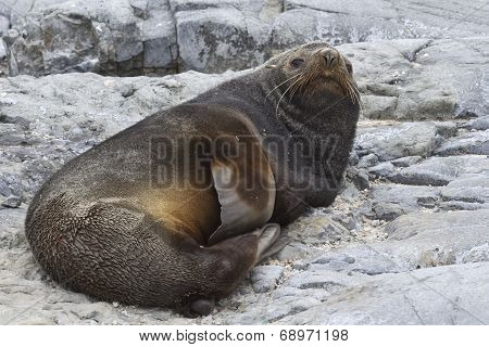 Male Antarctic Fur Seal That Rests On The Rocks