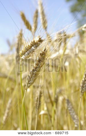 Barley Stocks