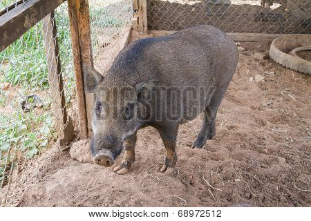 Black pig in the farm