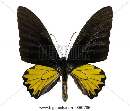 Isolated yallow butterfly