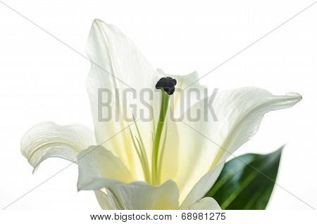Pink Lily isolated on white background Selective Focus Clipping path included