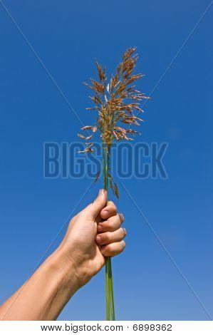 Grass Ear In Hand