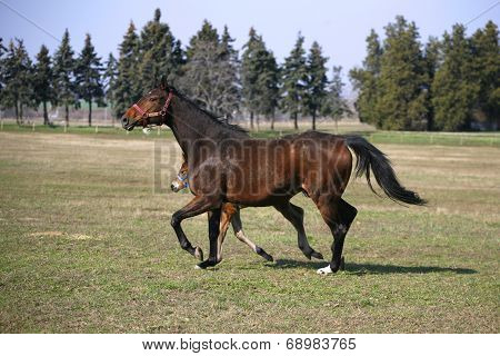 Foal and mare running together in springtime