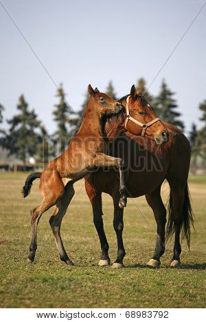 Little colt following her mother