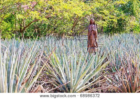 Field Of Blue Agave