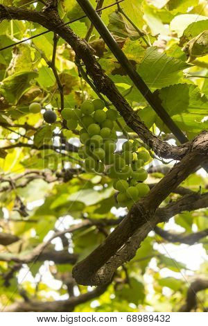 A bunch of raw grapes awaiting to ripe and be plucked