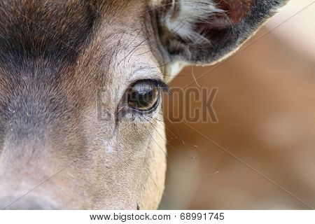 Eye Of A Fallow Deer