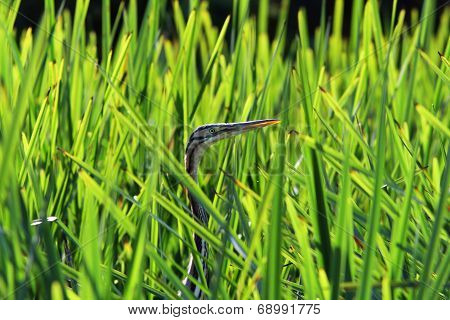 Purple Heron Hiding  Amongst Reeds