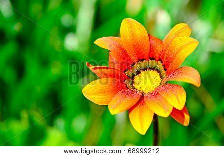 Wet Orange Flower