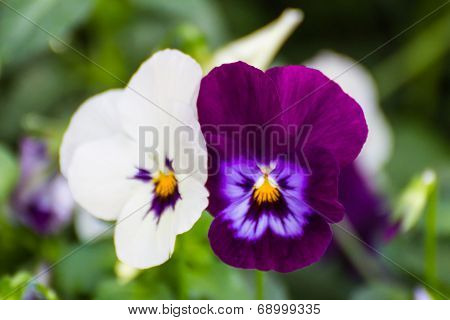 Dandy Pansy Flower
