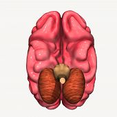 picture of frontal lobe  - The brain consumes up to twenty percent of the energy used by the human body - JPG