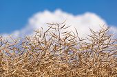 stock photo of rape-field  - Ripe seeds of rape at a field on a summer day - JPG