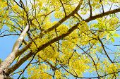 picture of cassia  - Beautiful yellow flowers on tree of Purging Cassia or Ratchaphruek  - JPG