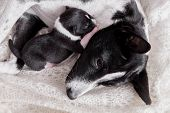picture of puppies mother dog  - Newborn basenji puppy - JPG