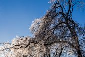 stock photo of sag  - Sagging brightly lit frozen tree on clear blue sky - JPG