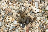 image of feces  - dog feces on background of pebble stones - JPG