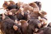 image of field mouse  - Photo of little brown and black laboratory mouses  - JPG