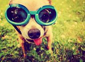 foto of chihuahua mix  - a cute chihuahua wearing goggles in the grass with his tongue out toned with a retro vintage instagram filter - JPG