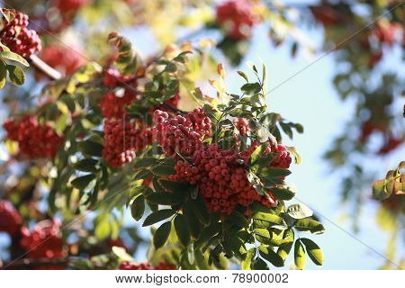Bush Of Red Rowan