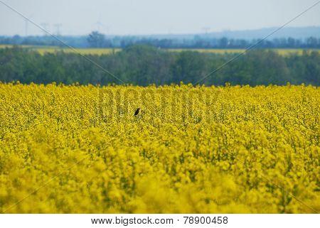 bird on canola field