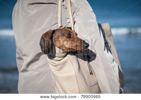 Teckel Dog Stuck In A Bag