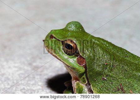 green tree frog close