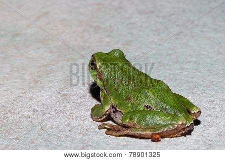 green tree frog looking