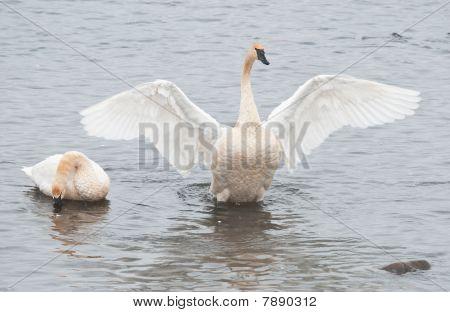 Trumpter Swan (Cygnus buccinator) Spreads His Wings
