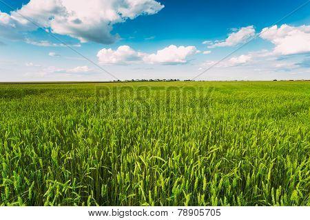 Green Wheat Ears Field, Blue Sky Background