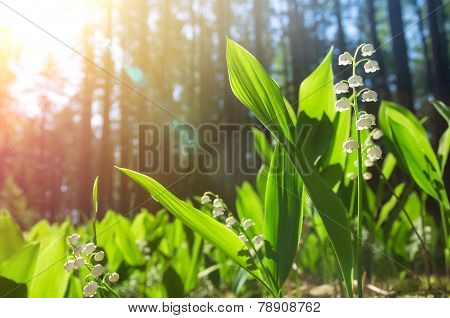 Lilies of the valley in the forest