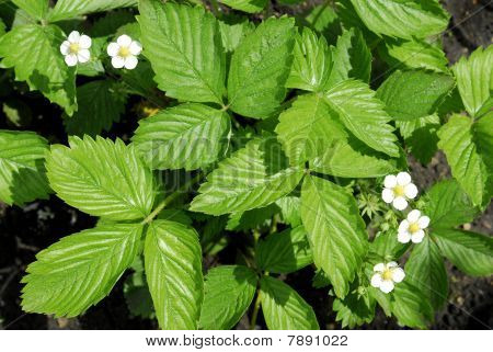 strawberry blooming