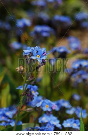 forget-me-not flower portrait